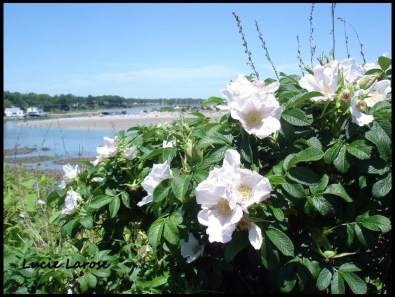 Rosiers sauvages, Maine, Ogunquit, voilier, nature