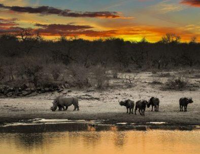 samburu_buffalo