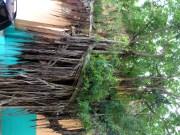 Tree in Old San Juan