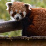 Journée mondiale du panda roux