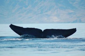 Blue Whale Fluke Sea of Cortez