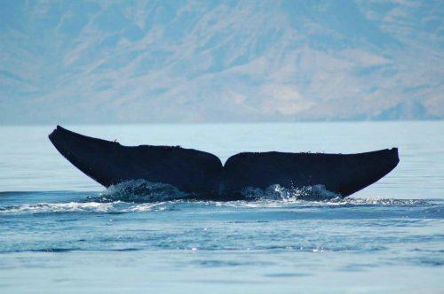Blue Whale Fluke Sea of Cortez