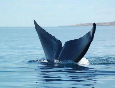 blue-whale-tail.jpg