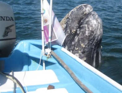 grey-whale-permits.jpg