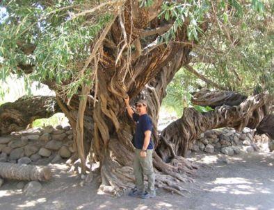 olive-tree-san-javier.jpg