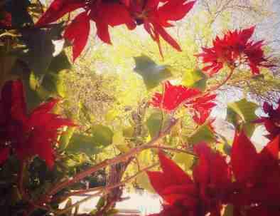 poinsetta-tree-san-javier-tour.jpg