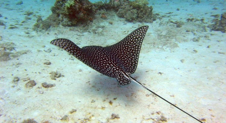 Stingray in the Red Sea - Hurghada Egypt