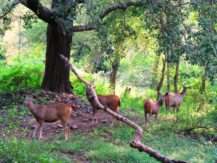 Ranthambore National Park - Zone 3 Random Deers