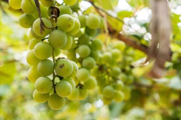 variedades de uva albarino