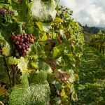 variedades de uva bobal