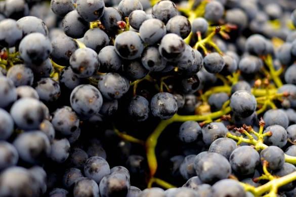 variedades de uva monastrell