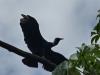 iguazu-18_argentine_ilot-saint-martin_vautour