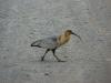 el-calafate_ibis