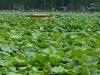 une-maree-de-lotus