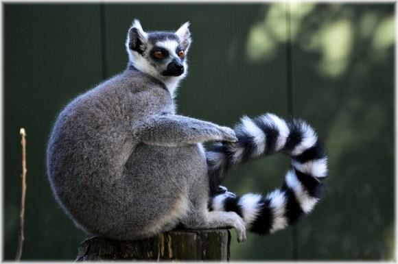 Un lémurien Catta de Madagascar - Illustration : libre de droits