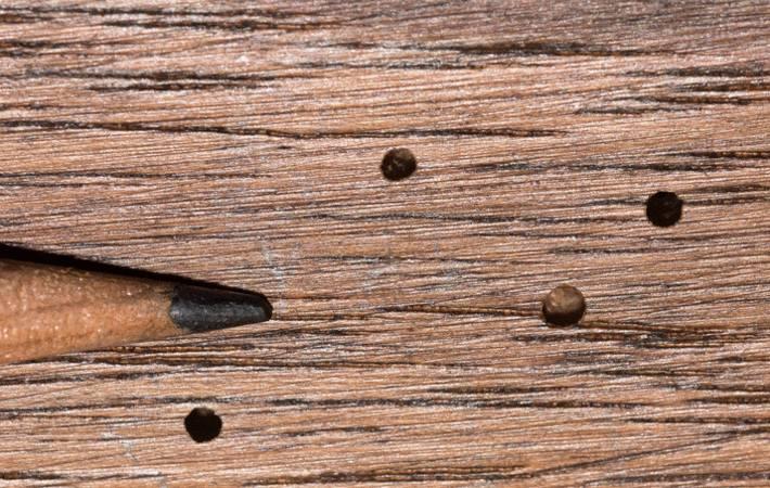 Des Trous Dans Le Bois Lutter Contre Les Vrillettes