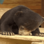 Sleepy Bear Tries To Keep His Head Up: VIDEO
