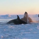 Pod of Killer Whales Trapped in Sea Ice in Northern Quebec: VIDEO
