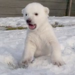 Polar Bear Cub Meets Snow for the First Time: VIDEO