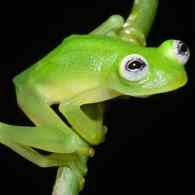 New Frog Species Goes Viral for Resemblance to Kermit: VIDEO