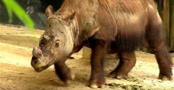 Harupan Sumatran rhino