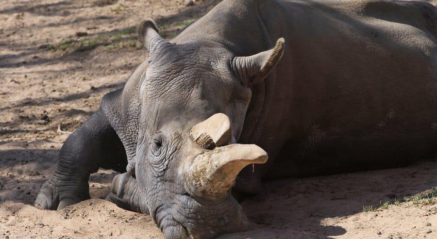 Nola Rhino