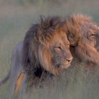 Two Male Lions Photographed Engaging in Homosexual Behavior in Botswana
