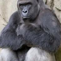Harambe Gorilla