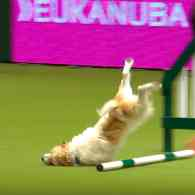 Jack Russell Terrier Hilariously Fails at Dog Show and 'Couldn't Care Less' – WATCH