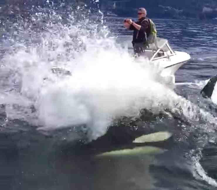 orca sea lion hunt