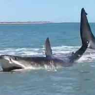 Man Finds 15-foot Great White Shark in 3 Feet of Water: WATCH