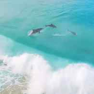 Gay Dolphins Observed Off Coast of Western Australia