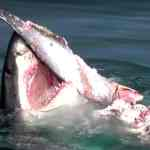 provincetown great white shark