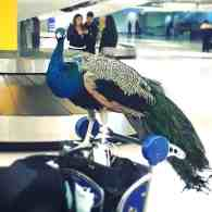 Emotional Support Peacock Barred from United Flight Has its Own Instagram Account