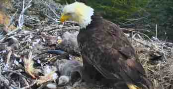 bald eagle earthquake