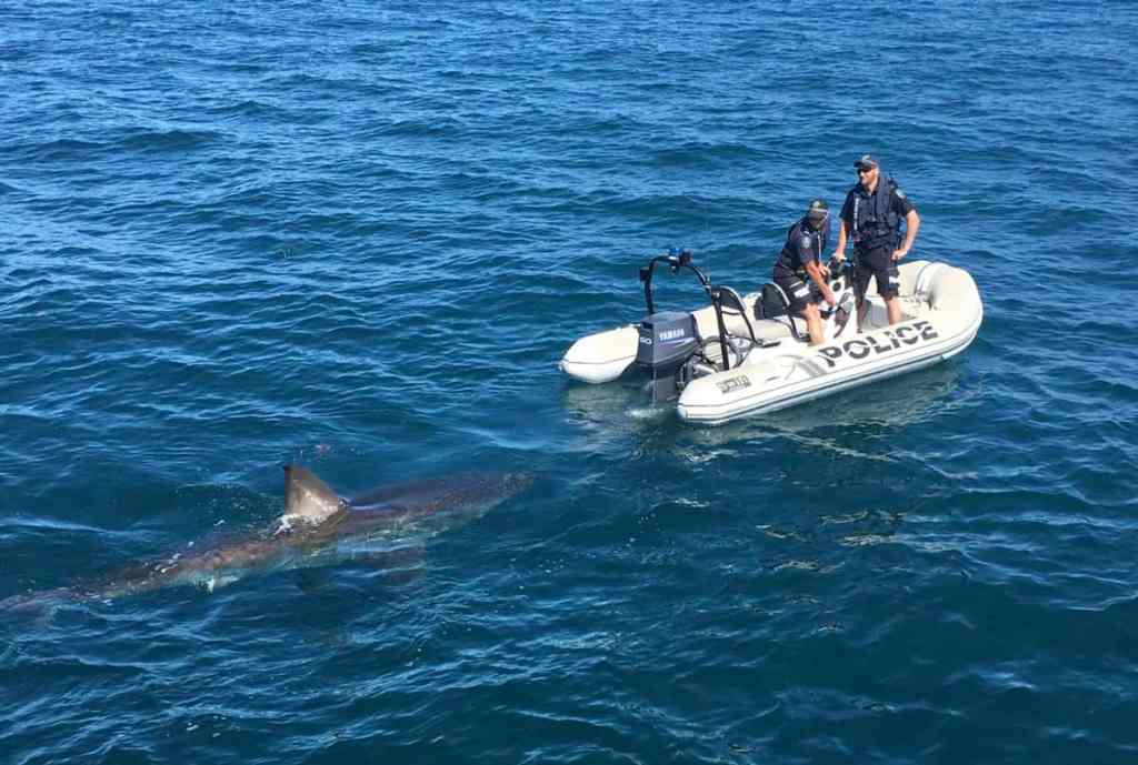 massive great white shark