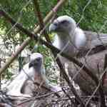 gay vultures