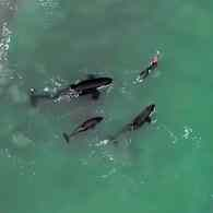 swimmer orcas