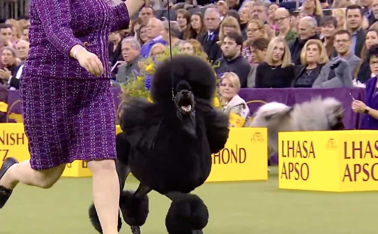 A standard poodle wins Westminster best in show