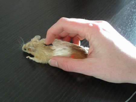 Real Mouse Mouse
