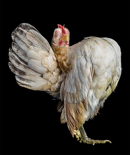 Chicken Beauty Pageants
