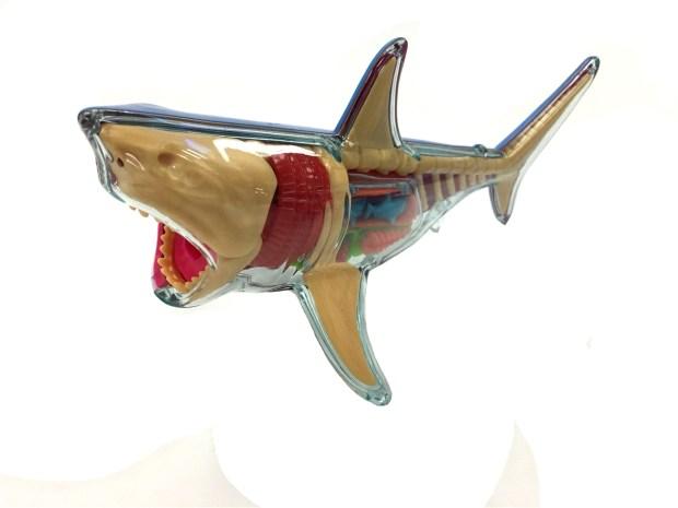 Great White Shark Anatomy Home Design Ideas