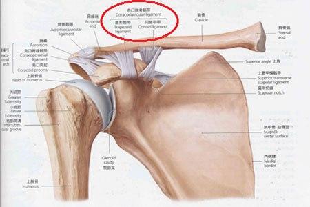 烏口鎖骨靭帯