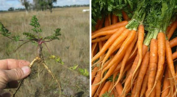 carrot vegetable HOW FRUITS AND VEGETABLES WERE IN THEIR ORIGINS