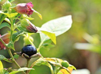 plant belladona
