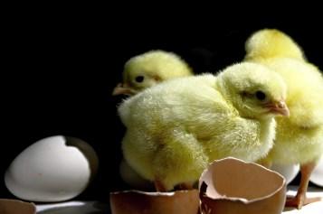 pollitos pollos huevos