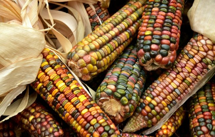 maíz alimento nutrimiento vitaminas vegetal verdura grano LAS PATATAS: EL ALIMENTO DE LOS DIOSES