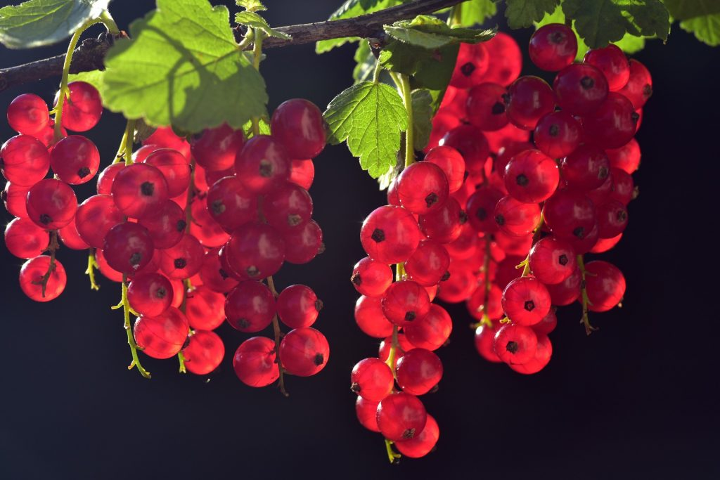"""frutos rojos grosellas fruta vitaminas  LA LISTA NEGRA DE LAS PLANTAS """"PROHIBIDAS"""" EN LA ANTIGÜEDAD"""