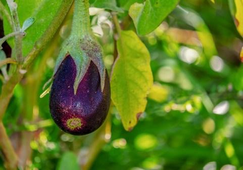 melanzana vegetariano vegetale vitamine vegan LA CAROTA: LA MALEDIZIONE DEL COLORE VIOLA