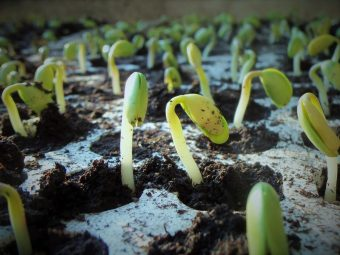 germination life THE BEANS AND THEIR IMPURE ORIGIN